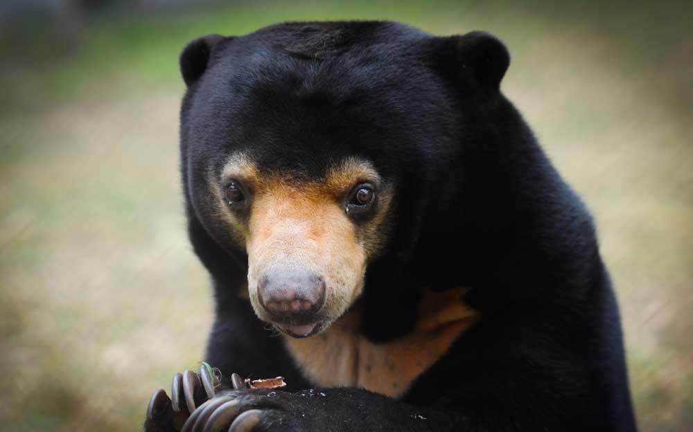 Baby Malayan Sun Bear - 31.2KB