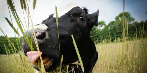 Sonny-enjoying-the-long-grass-at-Farm-Sanctuary-USA
