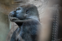 Gorilla in zoo. Photo © The Ghosts In Our Machine / We Animals.